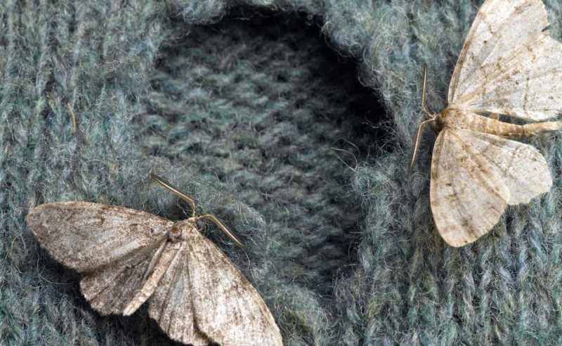 Epidemic of clothes moths strikes rare furnishings and fabrics